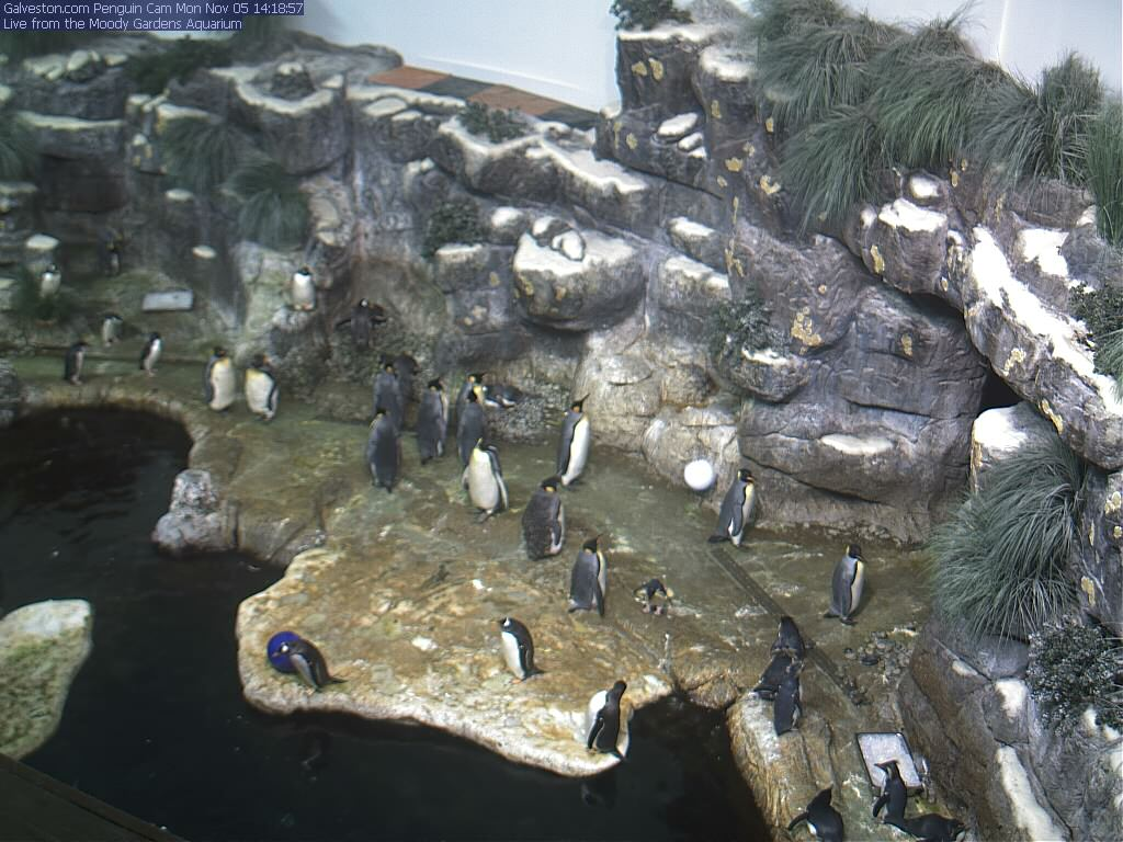 Moody Gardens Penguins