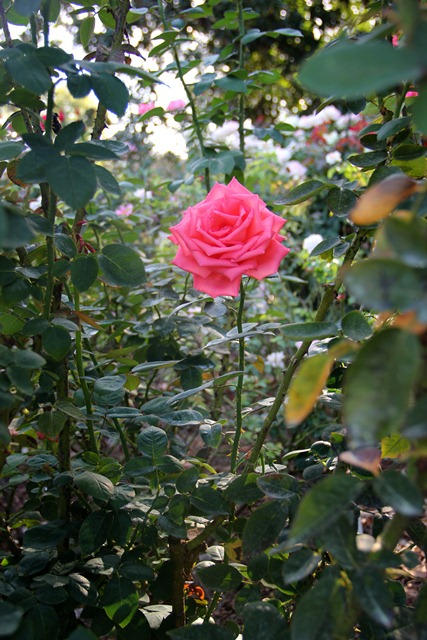 Learn To Prune Roses At The Mcfaddin Ward House Rose